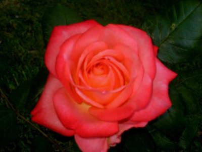 Rosenwasser in feinster Qualität (Bio.)